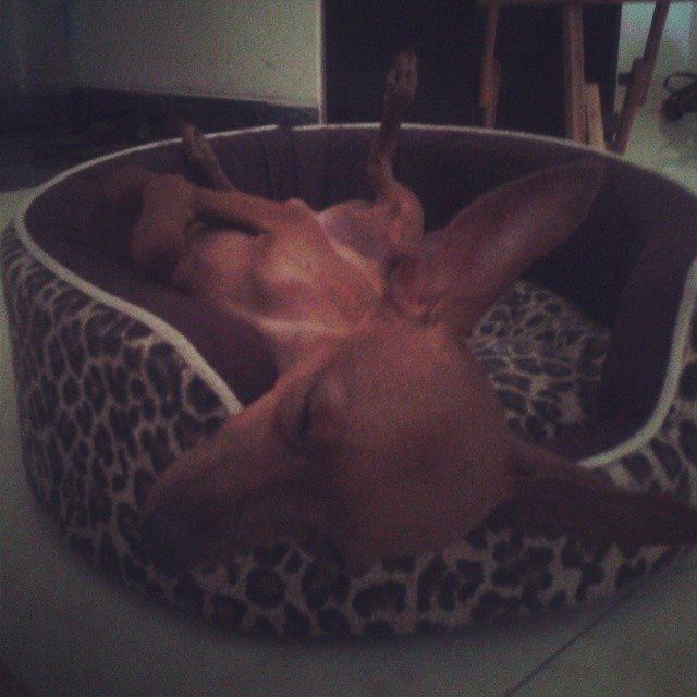 The cute view of chaos sleeps. #minpin #cute #cosy #sleepyhead