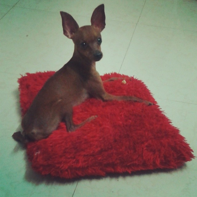 Milo Raajgadi! Pillow friendly. #cosy #minpin #pet
