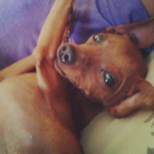 Sometimes he looks at me like a human. #morningstretches #minpin #milo #comfy #cute