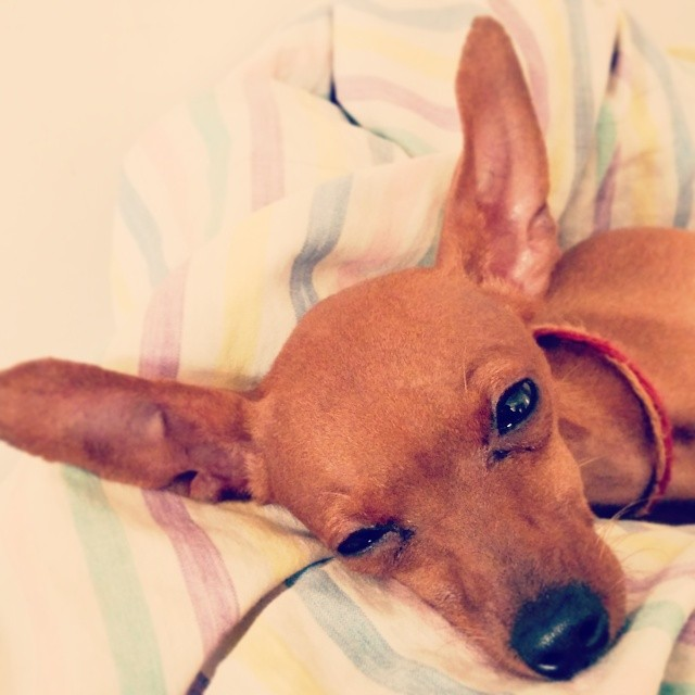 Do you smell what Milo is cooking? Sleepyhead RamDev. #minpin #pooch #pet #dog #cute