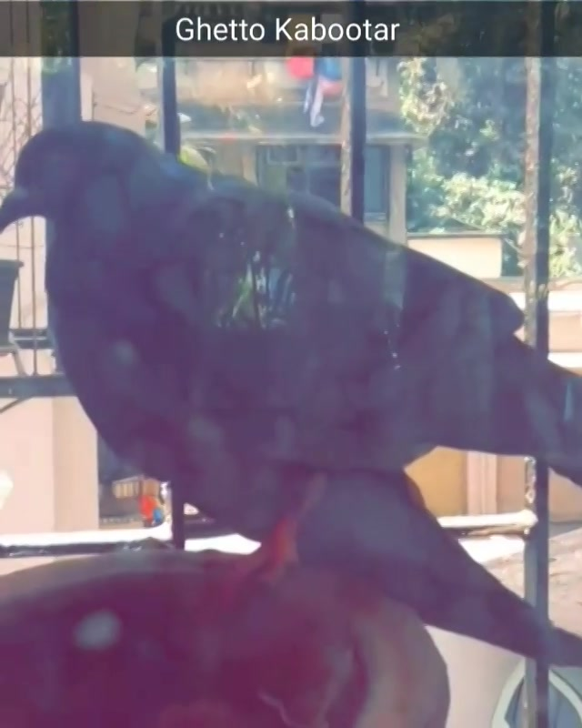 CUSS WORDS ALERT !! Wear Earphones. Story of the Ghetto Kabootars. Follow me on Snapchat (@manansnaps) #pigeon